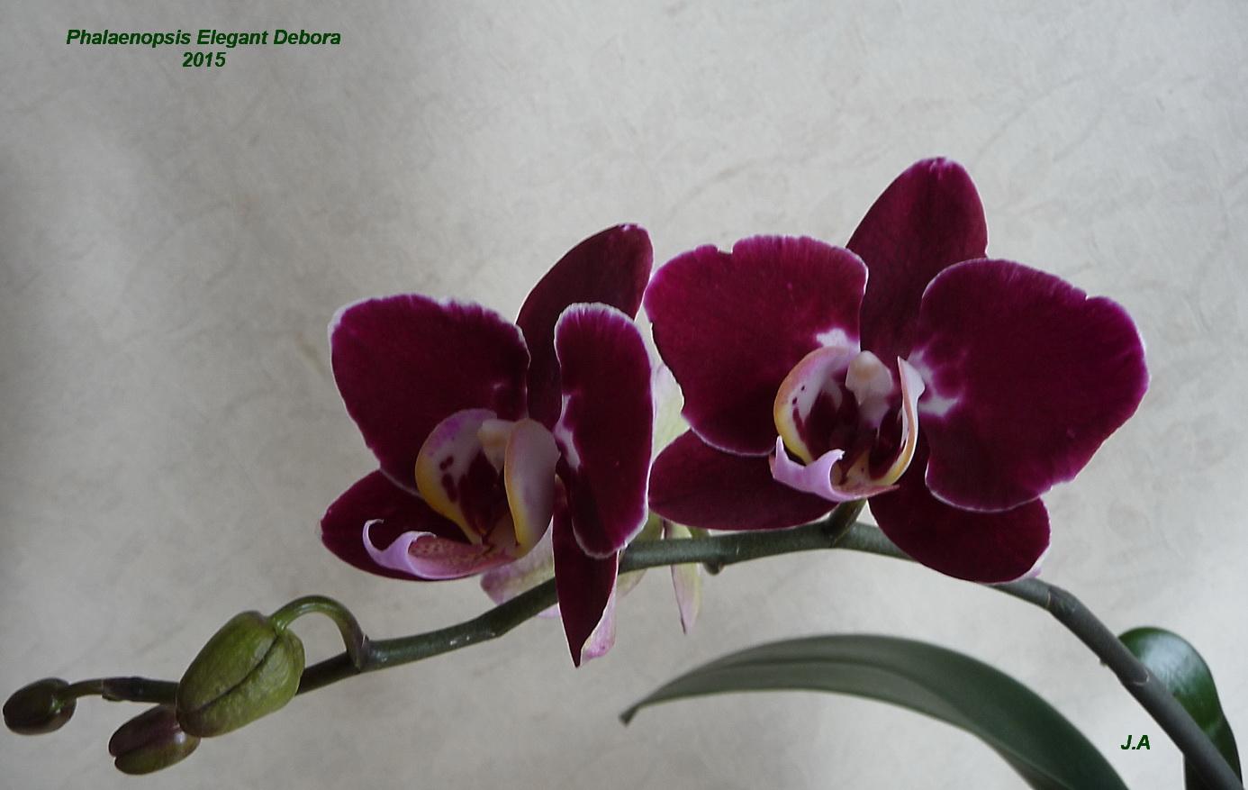 Phalaenopsis Elegant Debora 150418025213947135