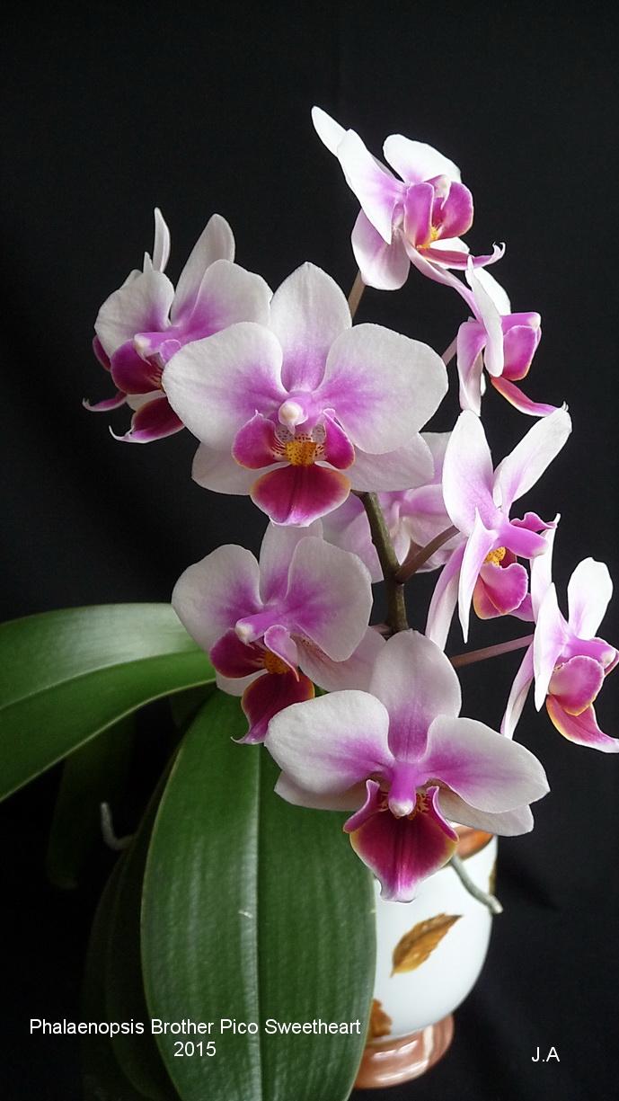 Phalaenopsis Brother Pico Sweetheart 150420114947159687