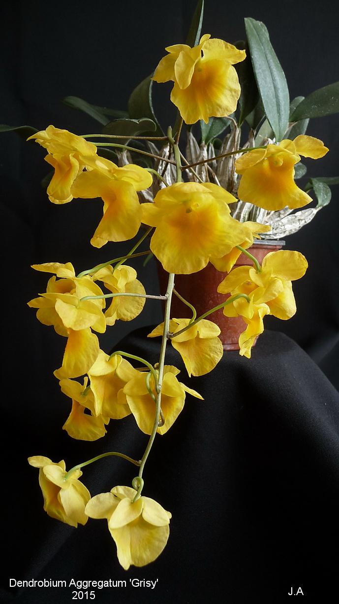Dendrobium  lindleyi (aggregatum) 'Grisy' 150509062105744892