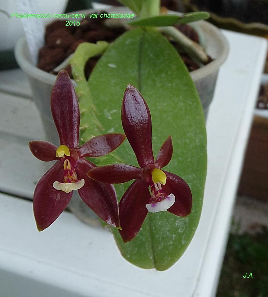 Phalaenopsis cornu cervi var chattaladae 150512055759314778