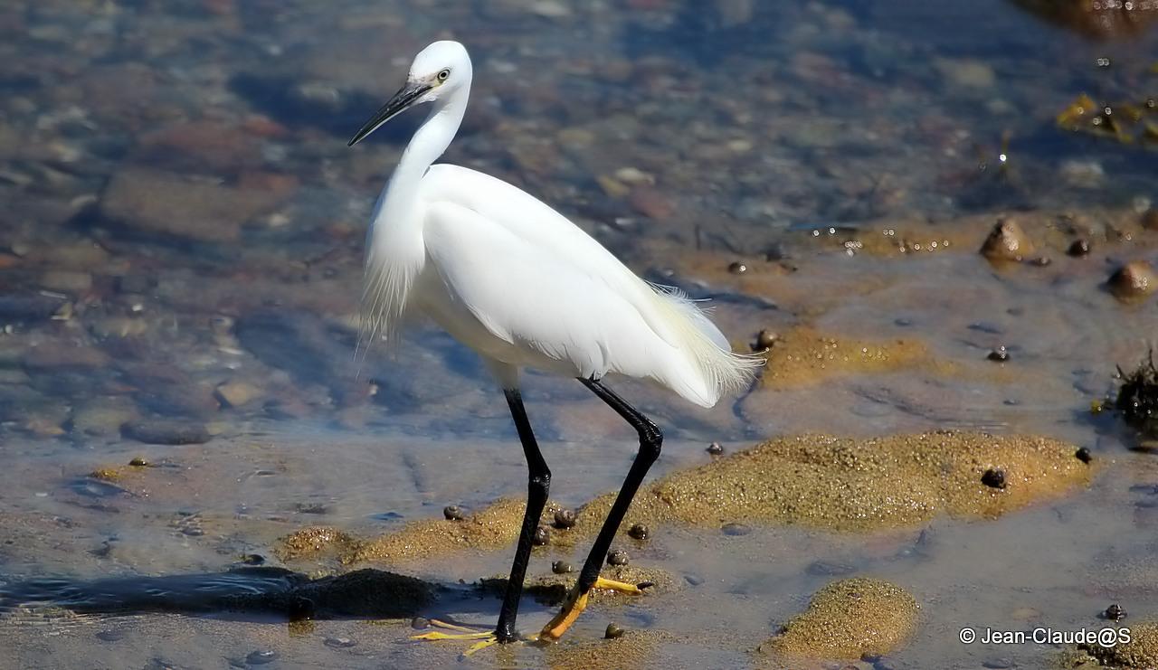 Les oiseaux de la Ria d'Etel 150527104520336436
