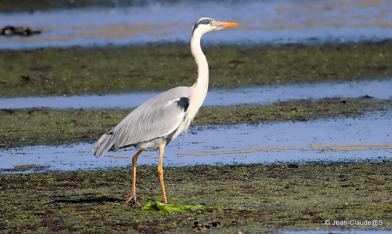 Les oiseaux de la Ria d'Etel 150527104527694658