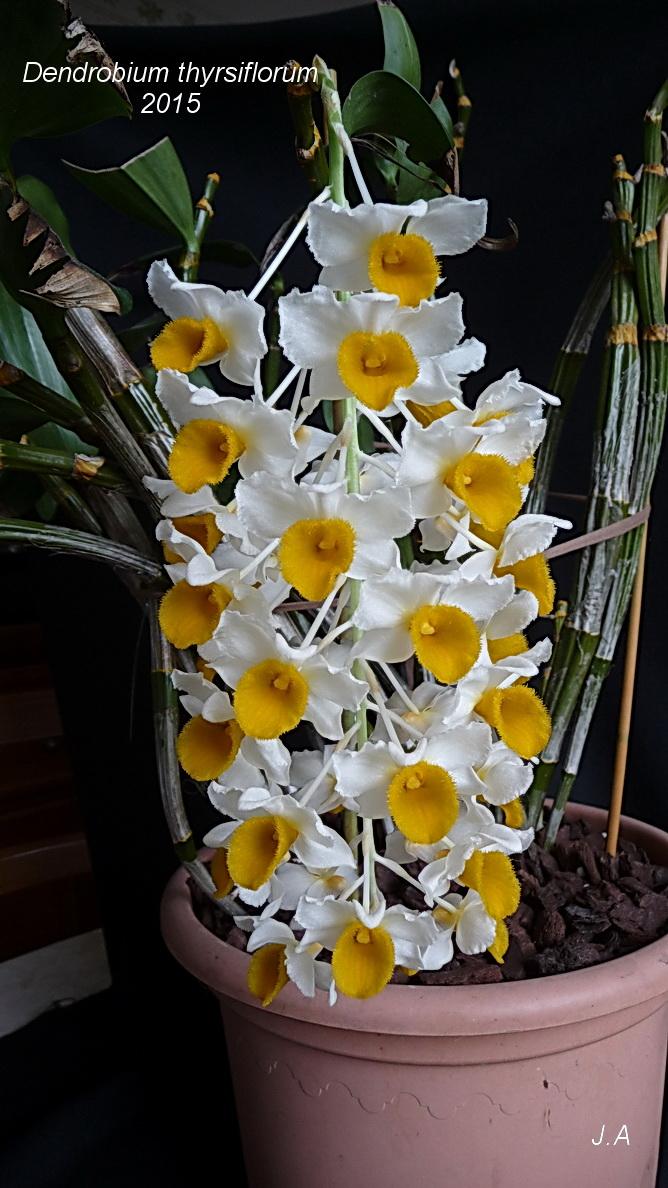Dendrobium thyrsiflorum 150528085745391460