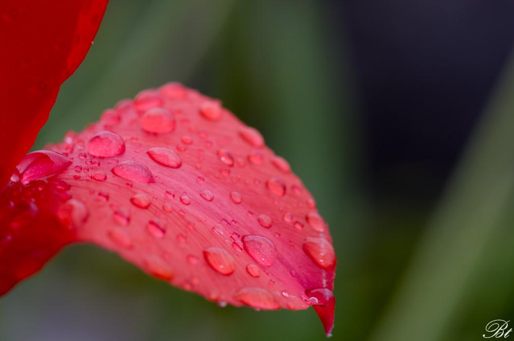Fête de la tulipe à Morges  150529083448937448