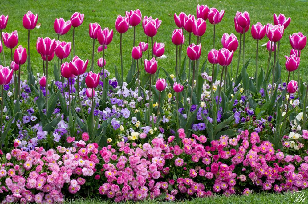 Fête de la tulipe à Morges  150529083453323527