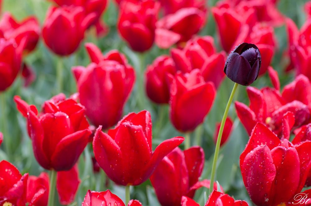 Fête de la tulipe à Morges  150529083514608239