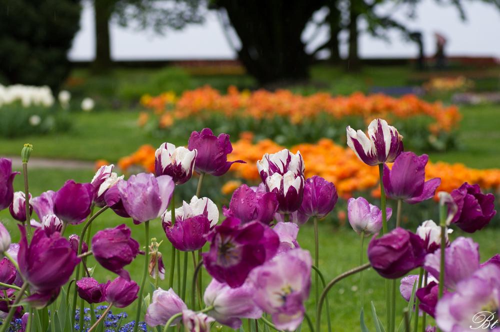 Fête de la tulipe à Morges  150529083517148249