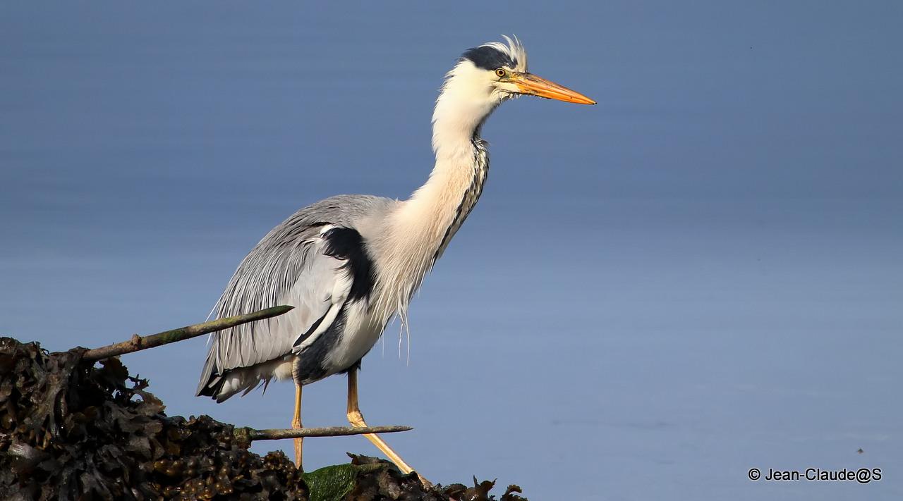 Les oiseaux de la Ria d'Etel - Page 2 150530102648577909