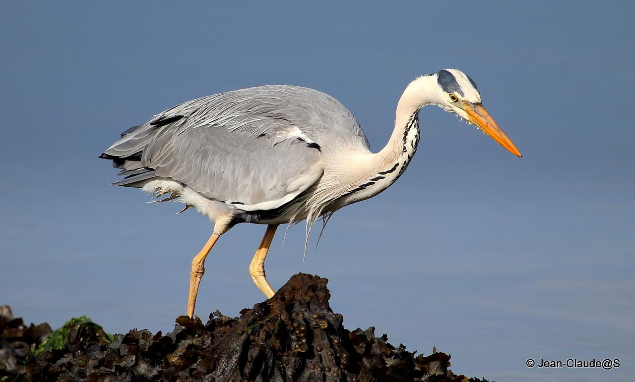 Les oiseaux de la Ria d'Etel - Page 2 150530102651559525