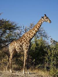 La girafe Mini_150603111314893448