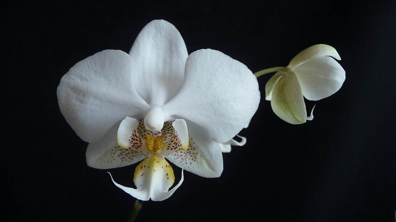 Phalaenopsis  hybride acheté pour stuartiana 150707091550969822