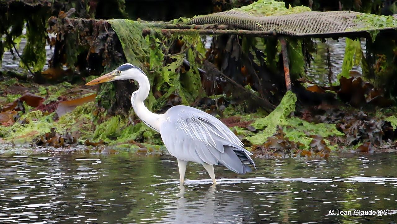 Les oiseaux de la Ria d'Etel - Page 2 150728040814155496