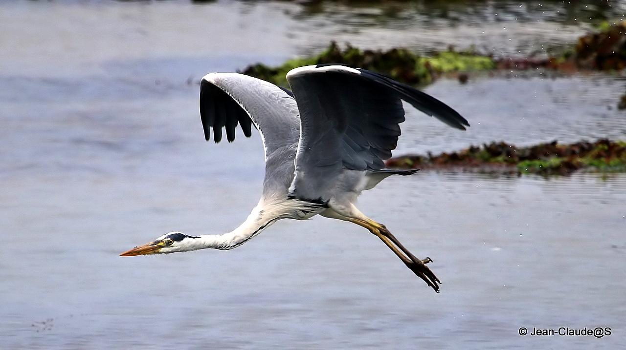 Les oiseaux de la Ria d'Etel - Page 2 15072804081777283