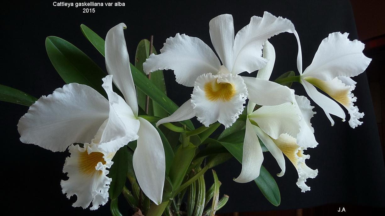 Cattleya gaskelliana var.alba 150730113708518063