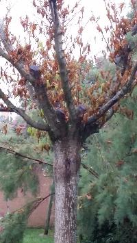 Murier platane qui perd ses feuilles