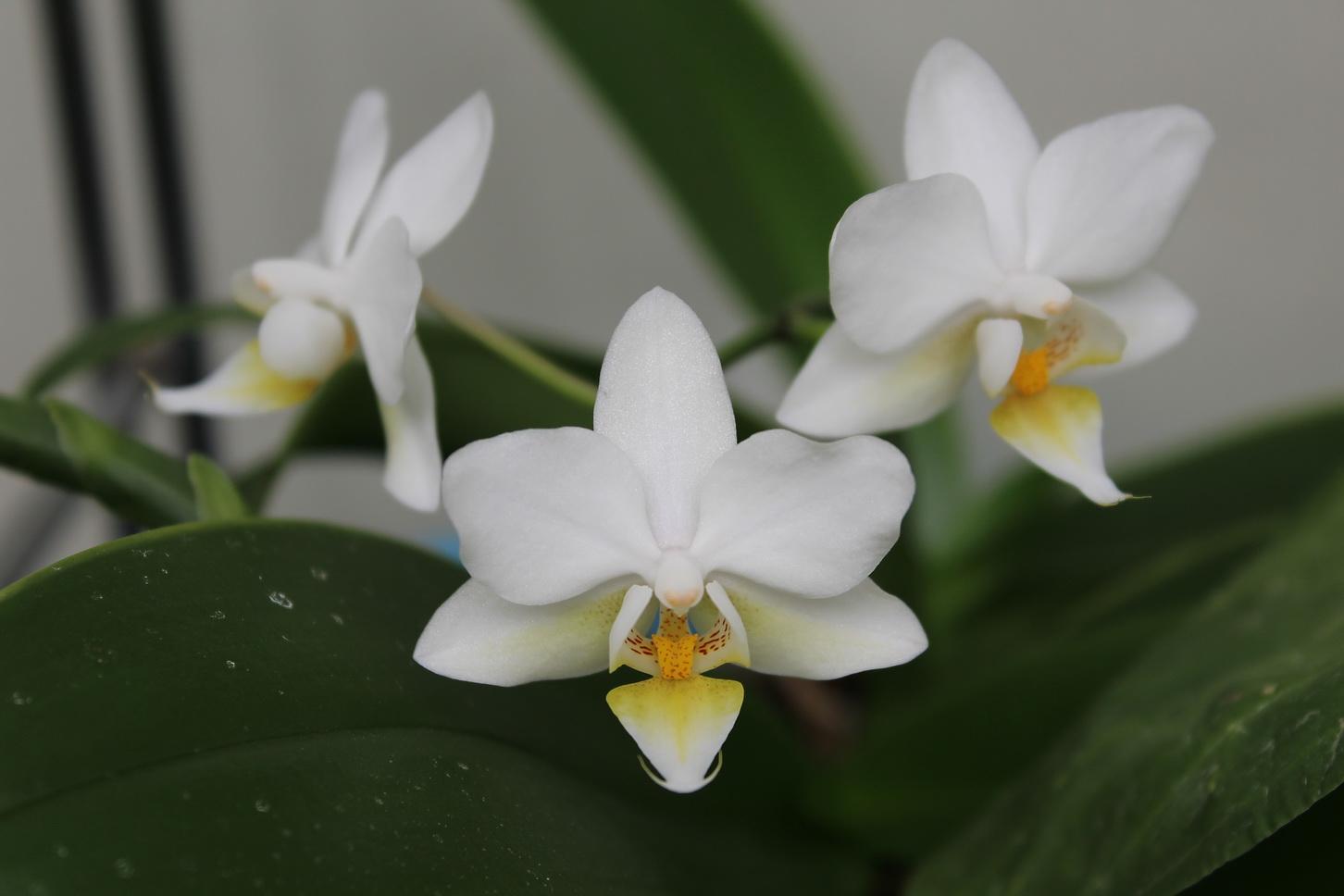 Phalaenopsis Chantilly 150812023448290456