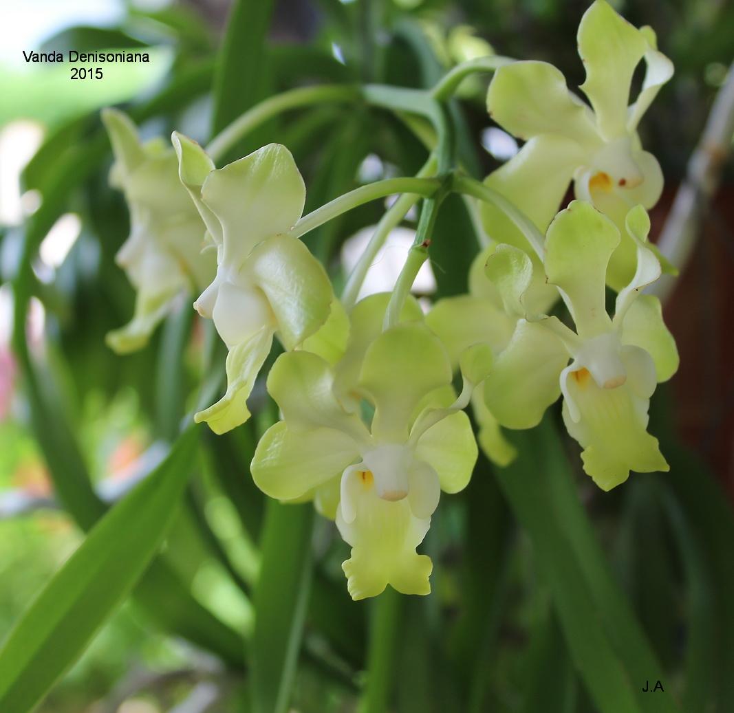 Vanda denisoniana 15081304360144525