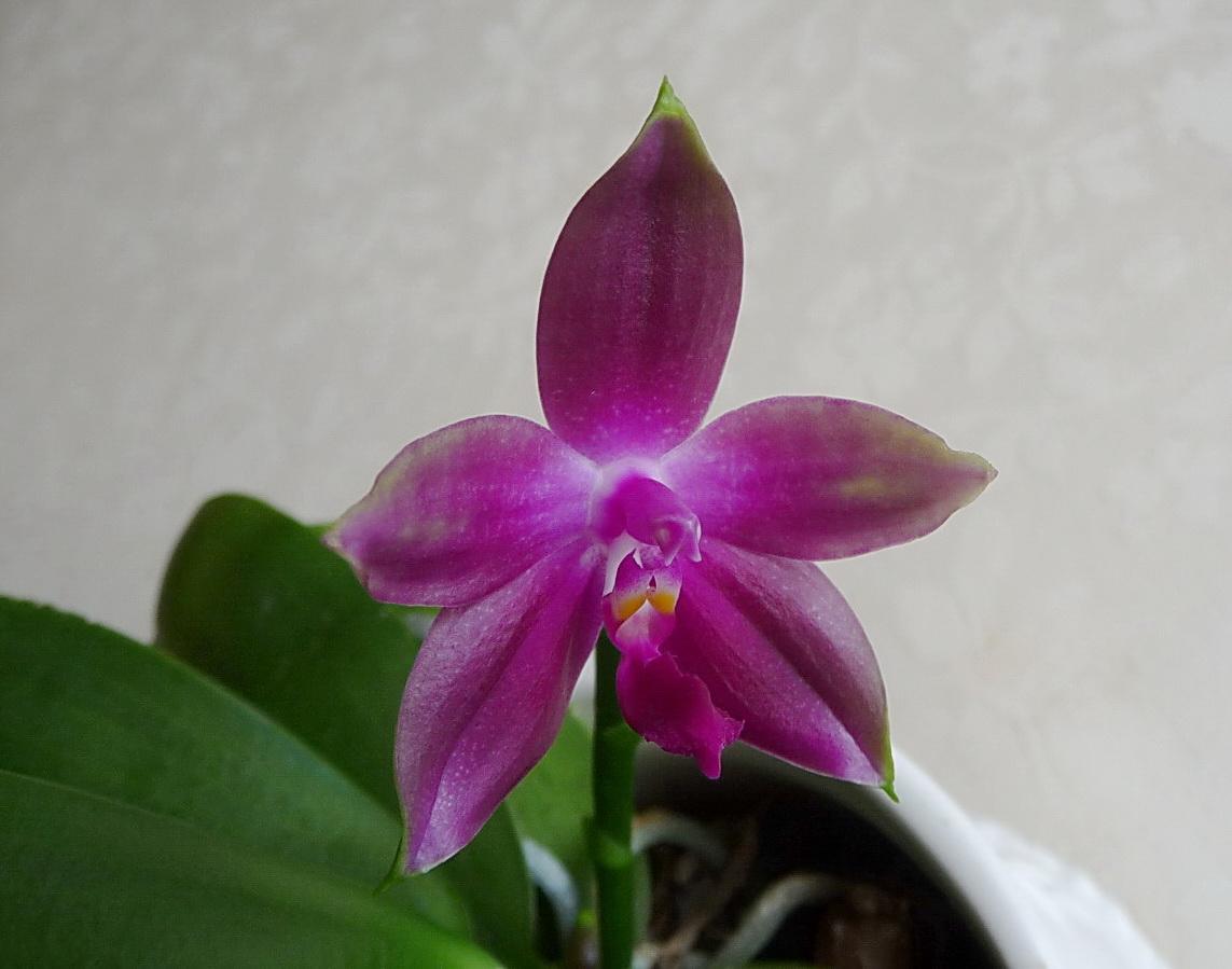 Phalaenopsis Jennifer palermo x (Nobby's Green Eagle x bellina 150925124235700938