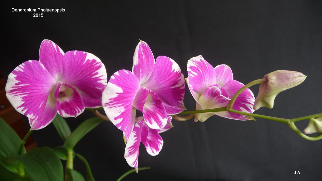 Dendrobium Phalaenopsis 151005043644575463