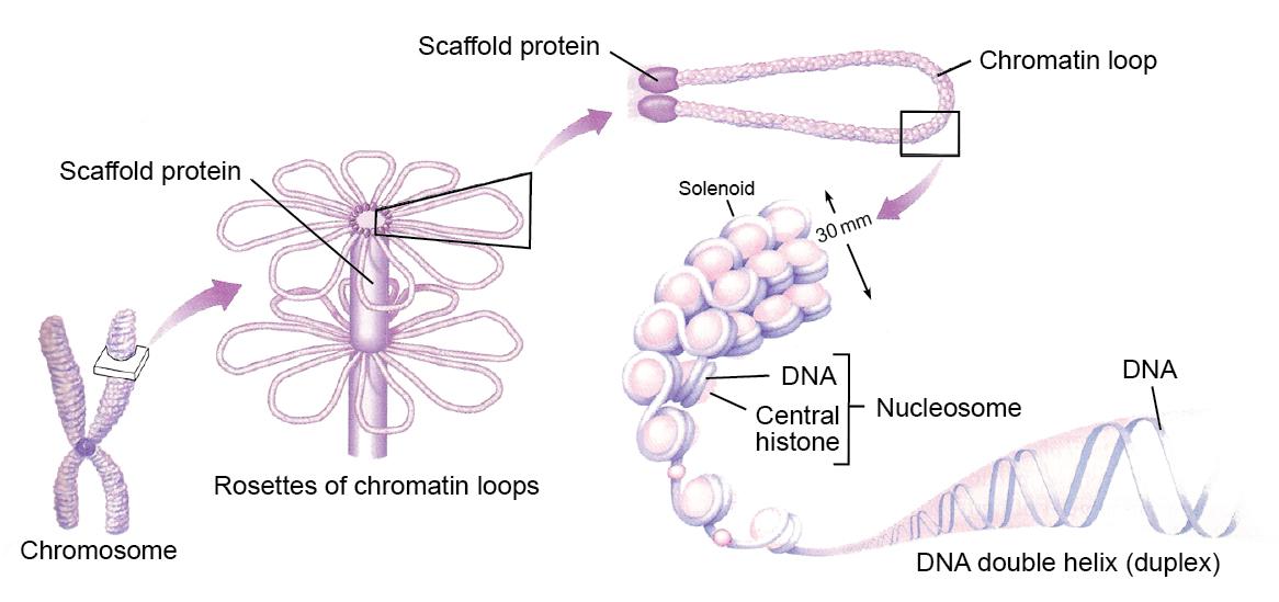Fig-5-2-Eukaryotic-Organization