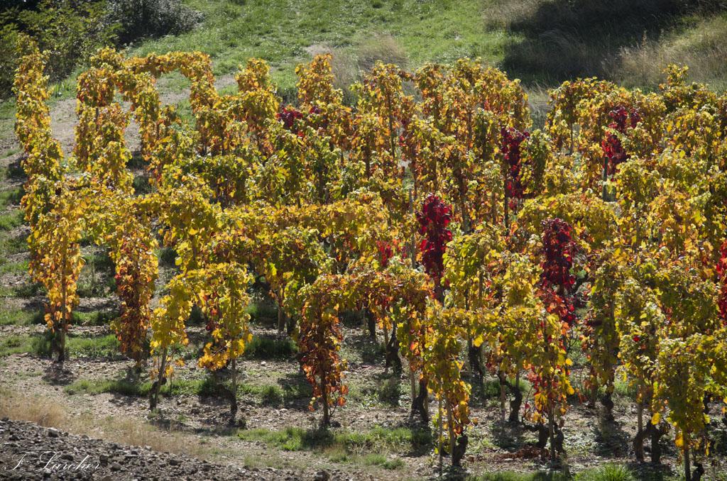Couleurs d'automne dans le vignoble ardéchois 151114074225233803