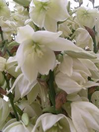 Yucca d 39 ext rieur couper la hampe apr s floraison for Tailler yucca exterieur