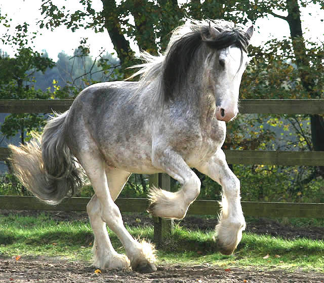 6 clydesdale