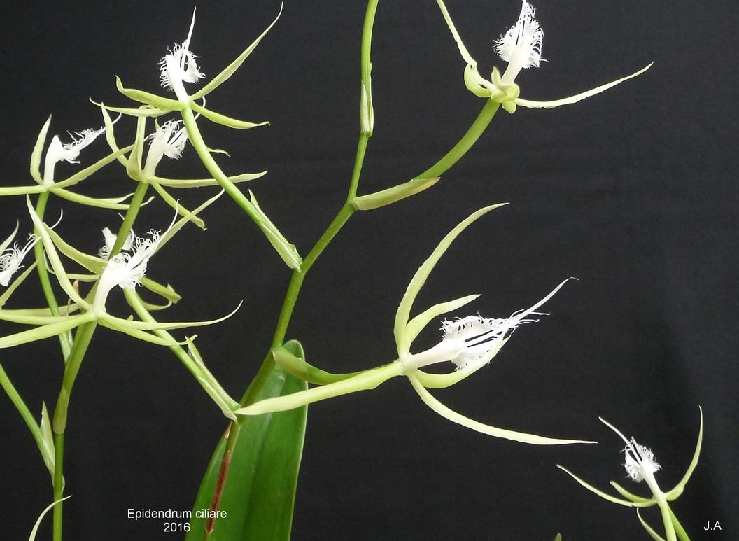 Epidendrum ciliare 160113020645593171