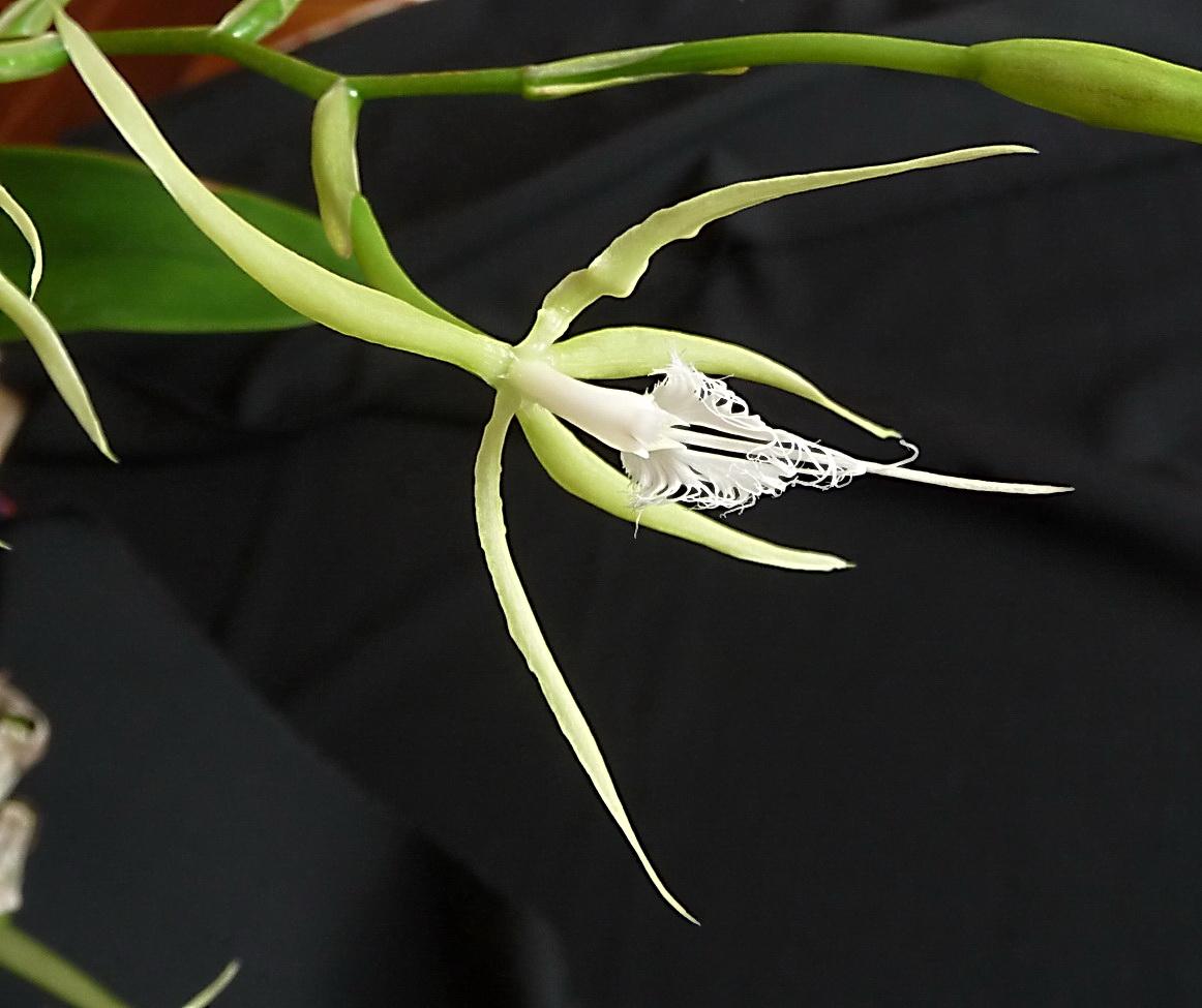 Epidendrum ciliare 16011311464936357