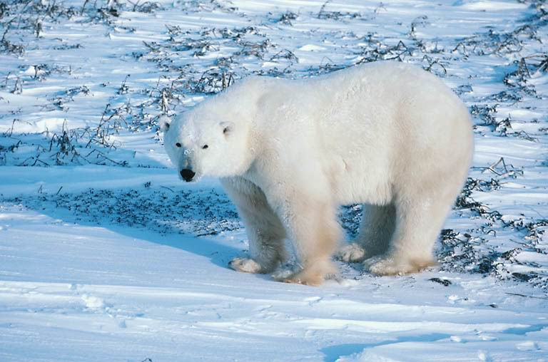 ours_blanc-6633bb