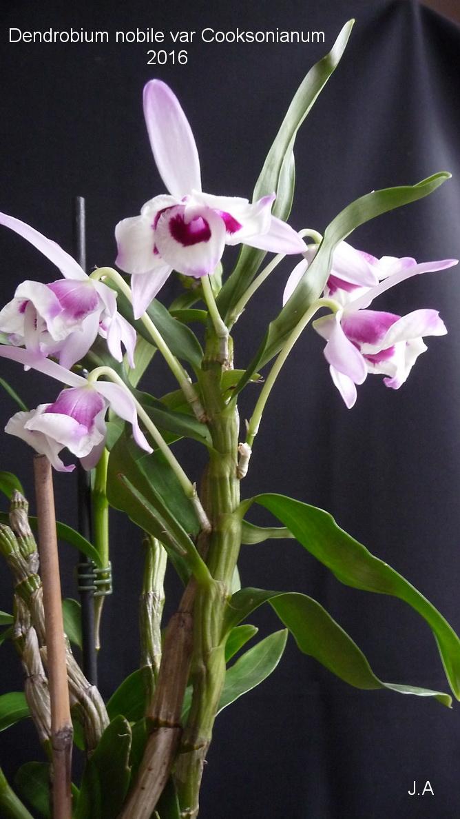 Dendrobium nobile var Cooksonianum 160204105718356432