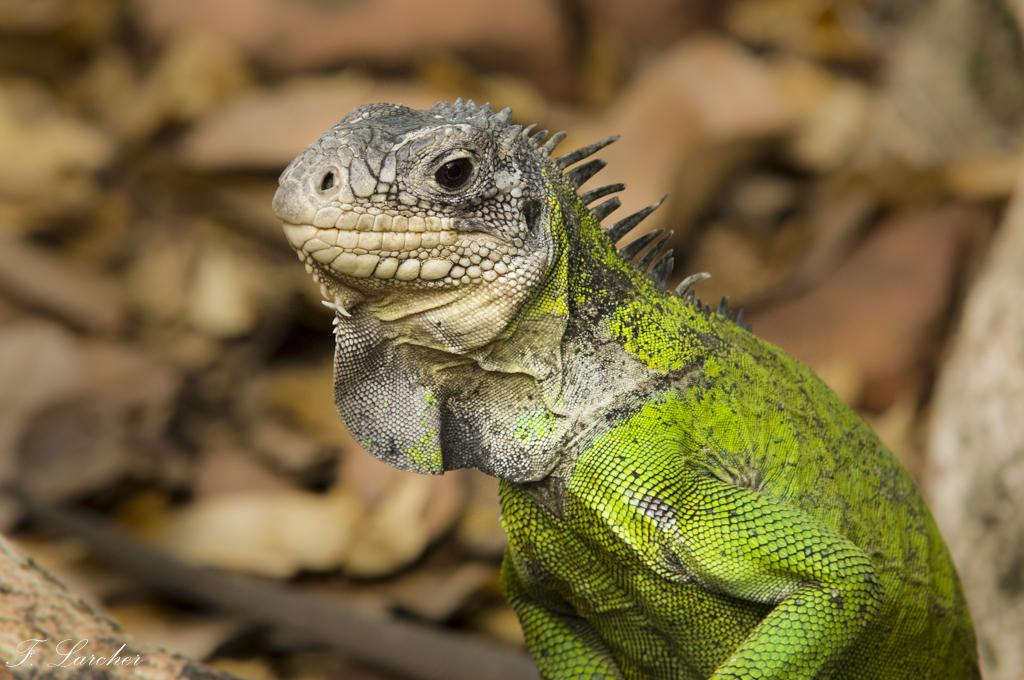 Les Iguanes : un animal préhistorique de nos jours 160219060249763753