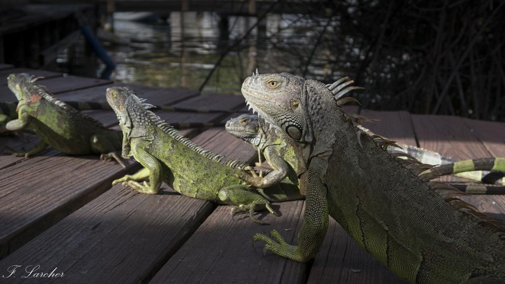 Les Iguanes : un animal préhistorique de nos jours 160219060252300432