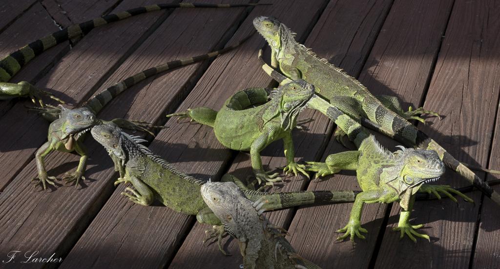 Les Iguanes : un animal préhistorique de nos jours 160219060255935728