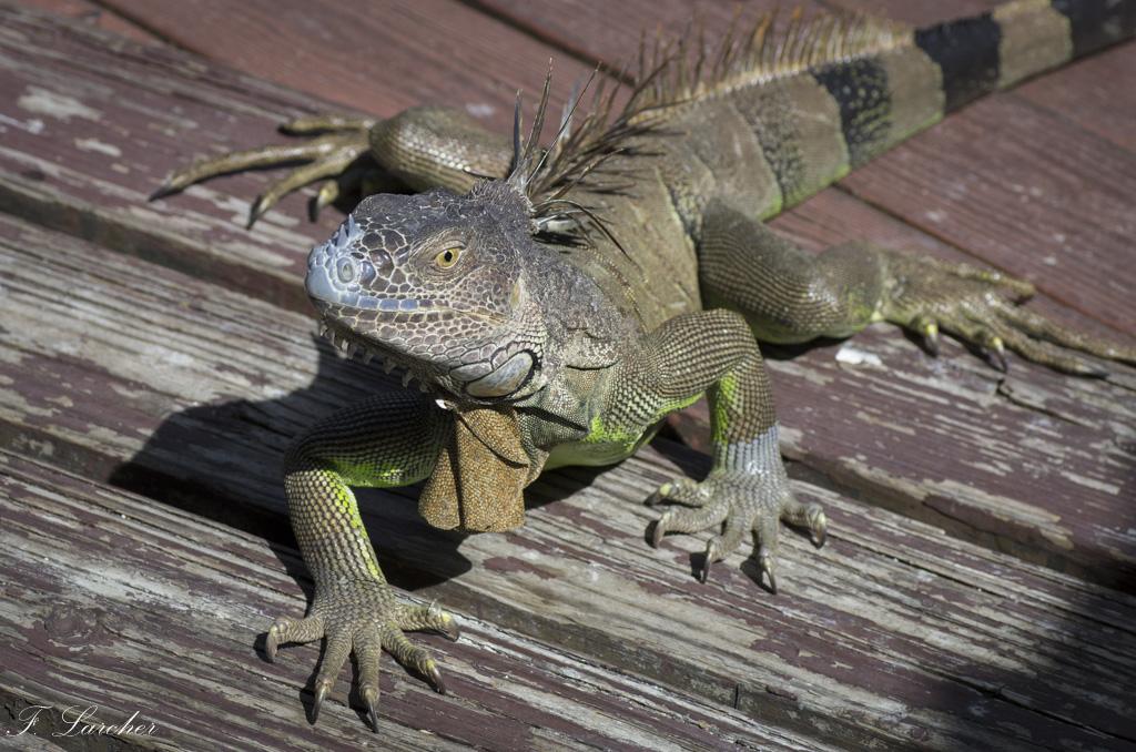 Les Iguanes : un animal préhistorique de nos jours 160219060314473248