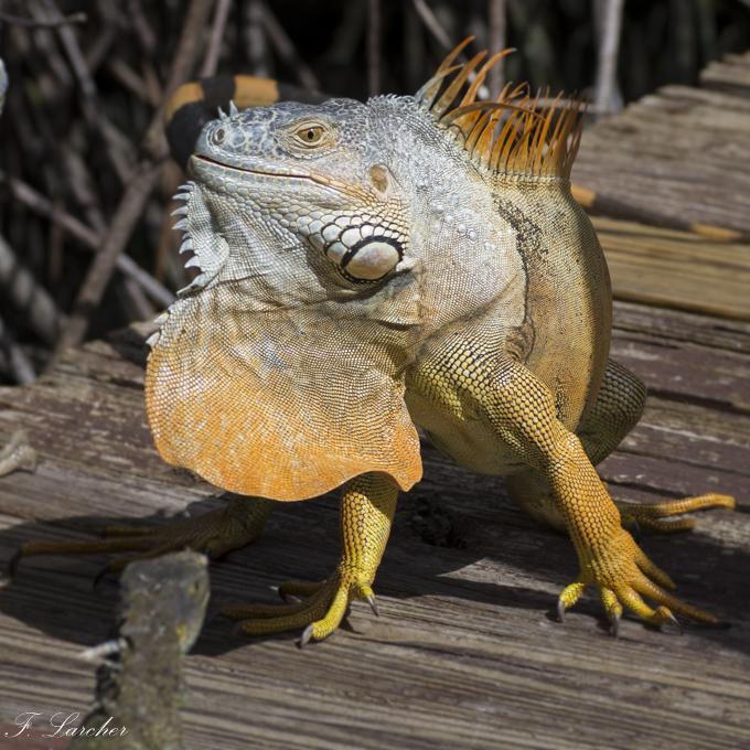 Les Iguanes : un animal préhistorique de nos jours 16021906032217027