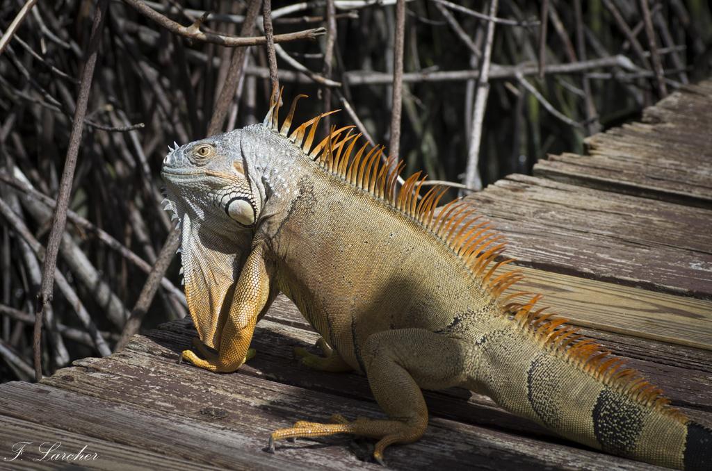 Les Iguanes : un animal préhistorique de nos jours 160219060339135309