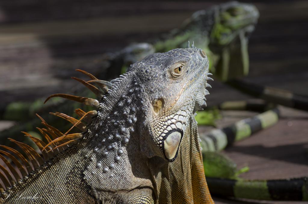 Les Iguanes : un animal préhistorique de nos jours 160219060341244011