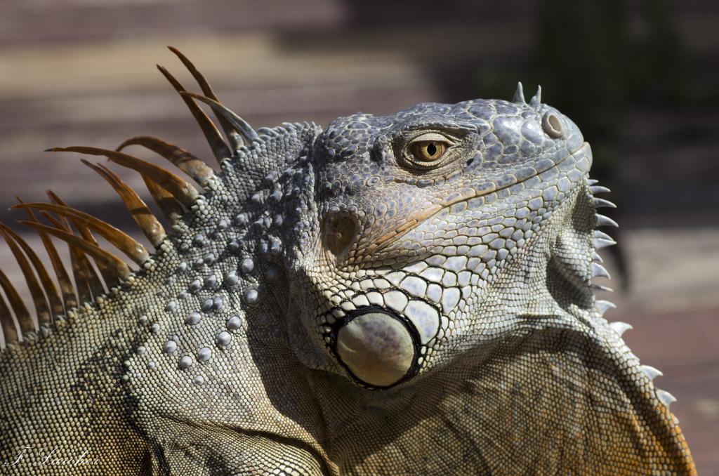 Les Iguanes : un animal préhistorique de nos jours 160219060341537915