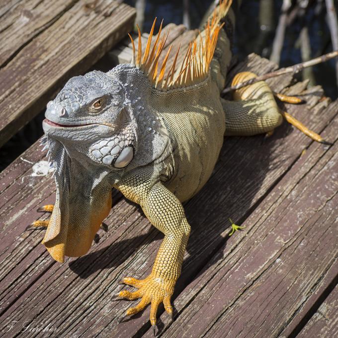 Les Iguanes : un animal préhistorique de nos jours 160219060343888596