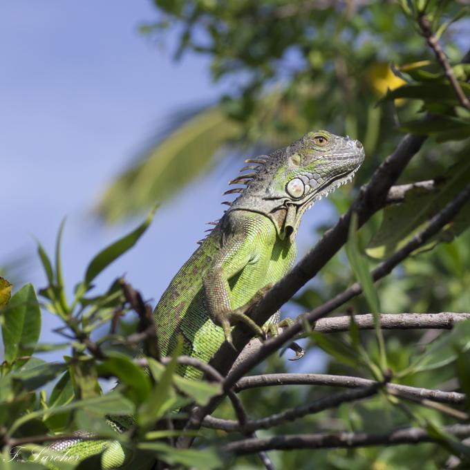 Les Iguanes : un animal préhistorique de nos jours 160219060347451829