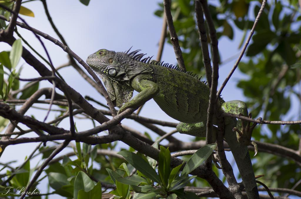 Les Iguanes : un animal préhistorique de nos jours 160219060348504004