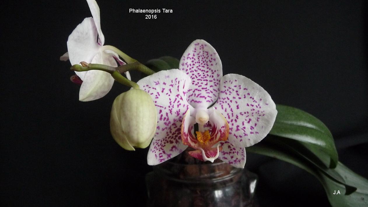 Phalaenopsis Tara 160225033422985406