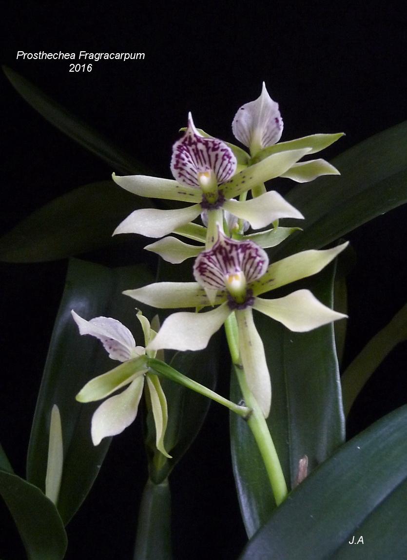 Prosthechea Fragracarpum  (P. fragans x P. prismatocarpa) 160225034903825330