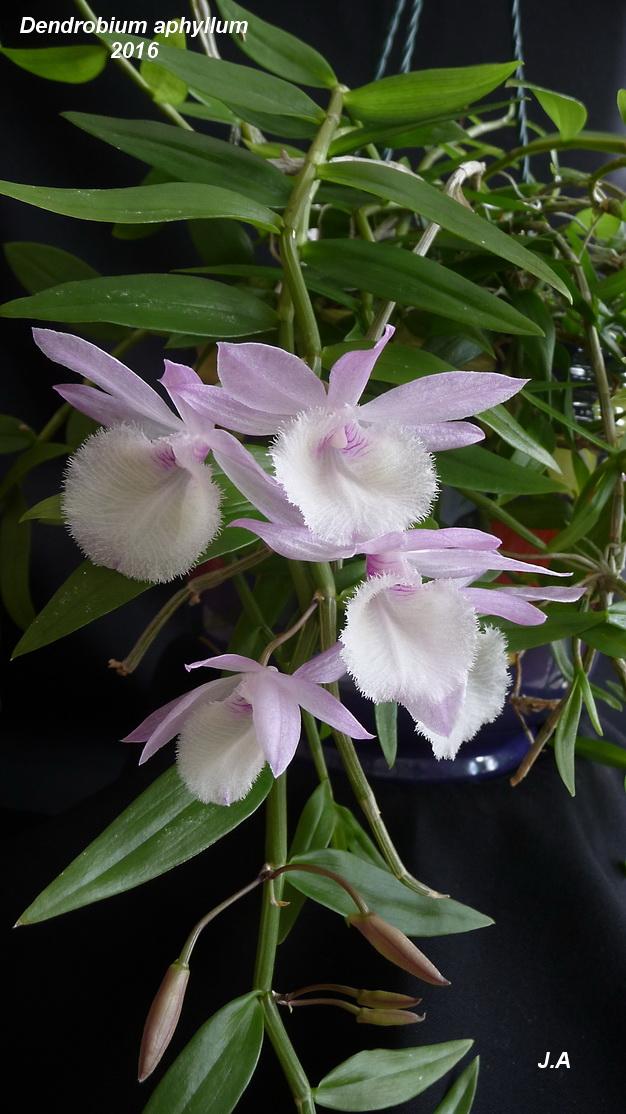 Dendrobium aphyllum 160306050340179278