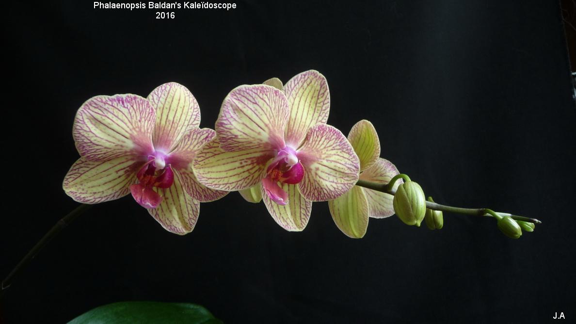Phalaenopsis Baldan's Kaleïdoscope rajout de photo 160326055232812974