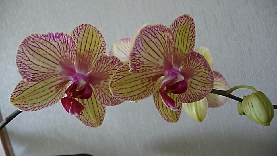 Phalaenopsis Baldan's Kaleïdoscope rajout de photo 160328102522695036