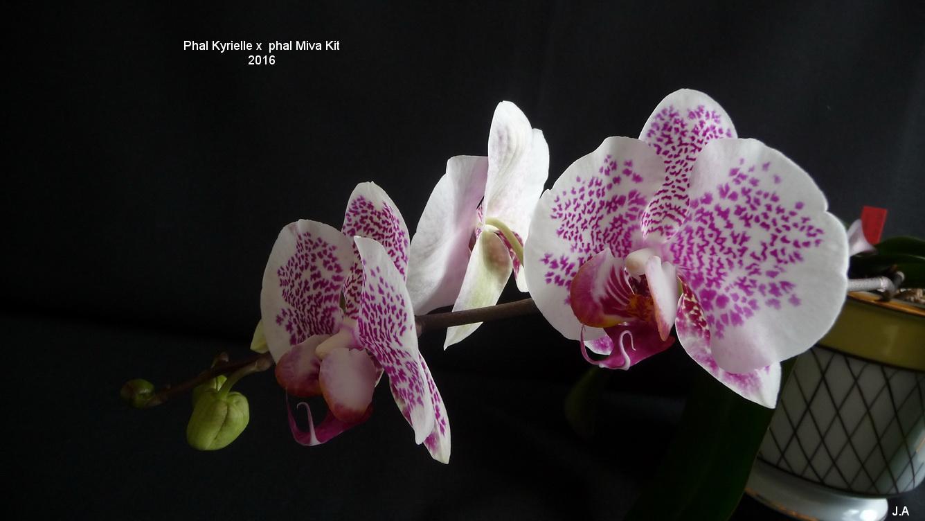 Phalaenopsis Kyrielle x Phalaenopsis Miva Kit 16032810364456893