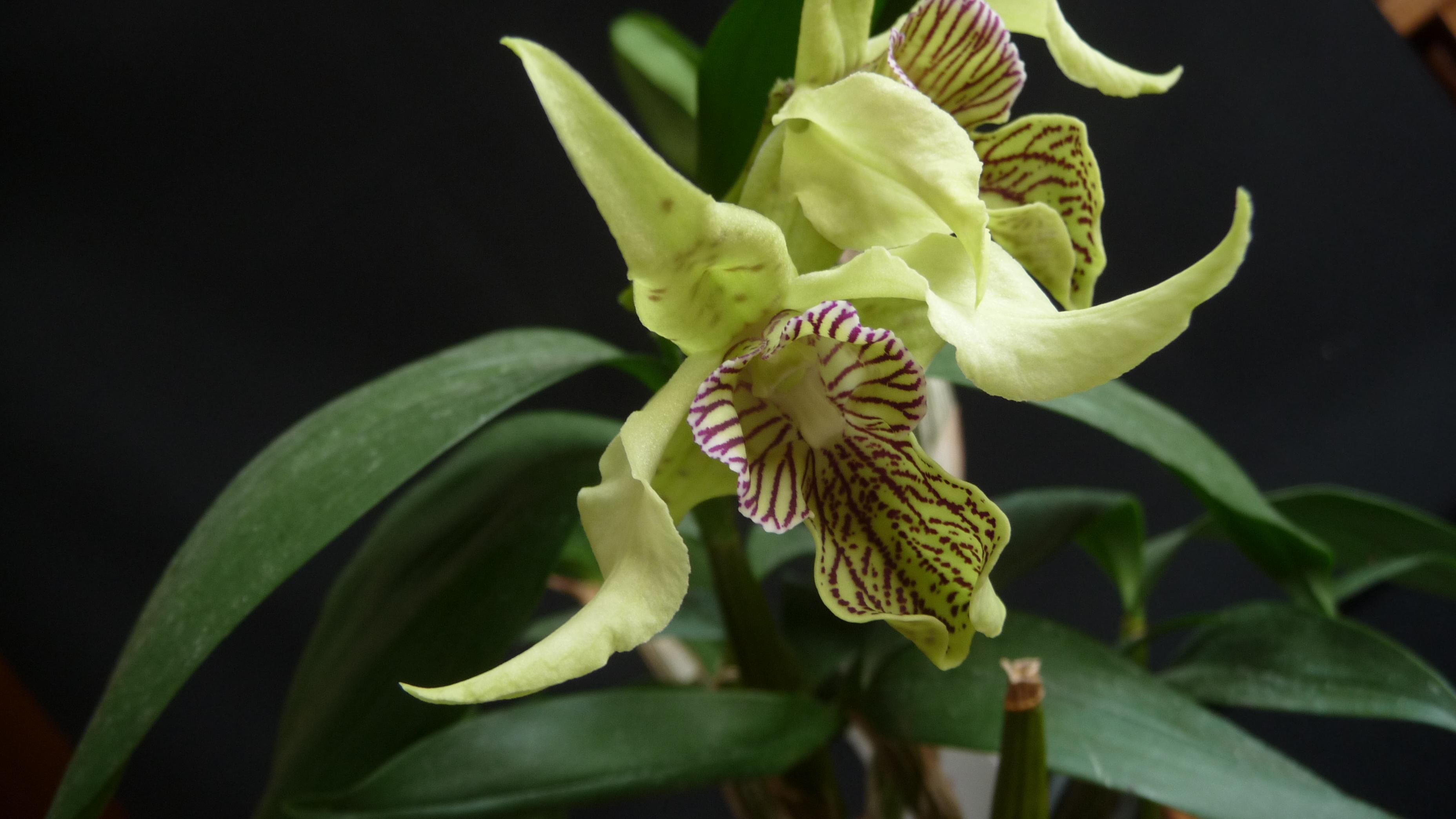 Dendrobium La Maripontaine 160401022924915571