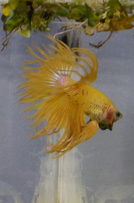 crowntail jaune 160401042923214517